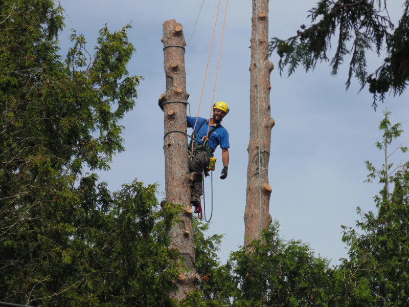 Arborist Rory Fraser climbs two dead red pines (Pinus resinosa) at Grand Lake in New Brunswick