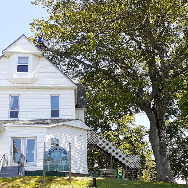 A certified  arborist is trimming a large oak tree away from the roof of a three storey house
