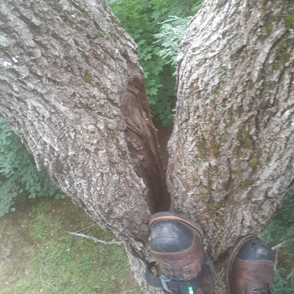 A person puts their foot on a split walnut tree.