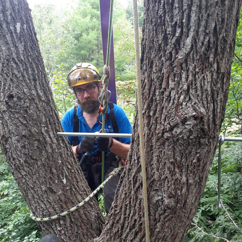 John Haney wears a helmet and protective eyewear as he places a metal rod through a split black walnut tree.