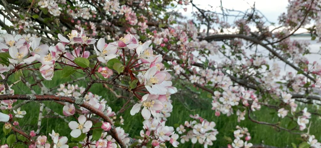 Apple blossoms on the branch.